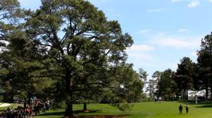 The Eisenhower Tree in 2011.